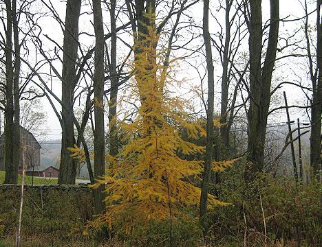autumn_larch