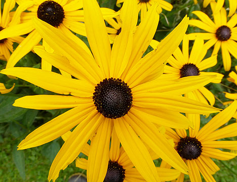 black_eyed_susan