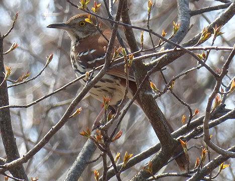 brown_thrasher