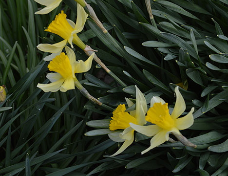 daffodils_on_green