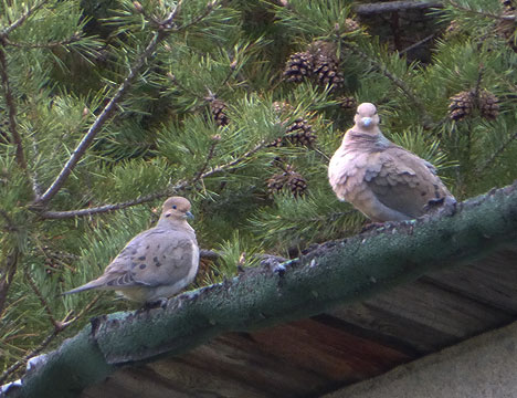 mourning_doves