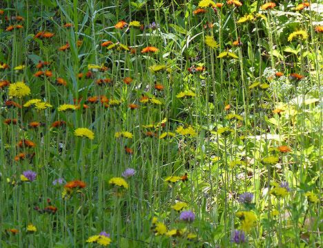 mtn_wildflowers