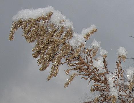 snowy_goldenrod