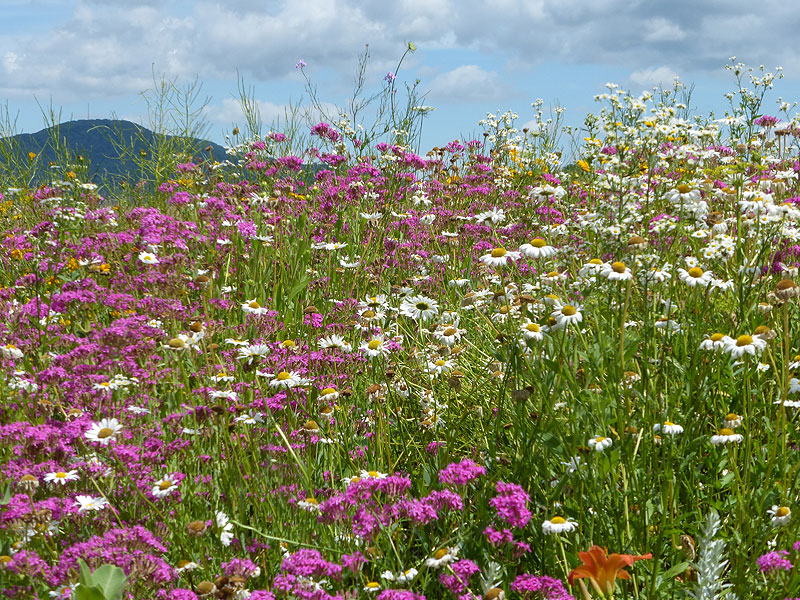 south_knob_wildflowers