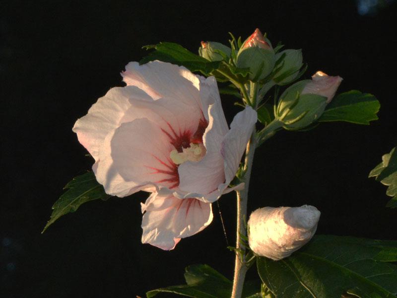 rose_of_sharon